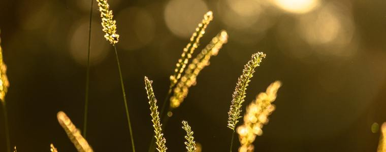 Wheat, New Life, Parable of the Sower